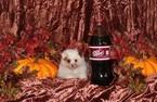 Morkie Puppy For Sale in BONHAM, TX, USA