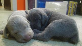 Weimaraner Puppy For Sale in ALBUQUERQUE, NM, USA