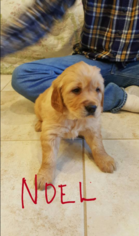 Golden Retriever Puppy For Sale in PLAINVILLE, IN