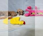 Puppy 3 Dachshund