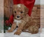 Small #3 Cavapoo-Poodle (Miniature) Mix