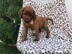 Irish Setter Puppy For Sale in EAST EARL, PA, USA