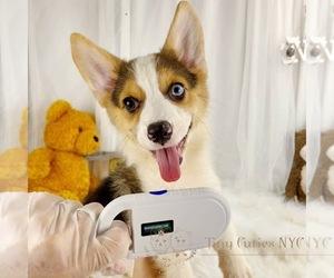 Pembroke Welsh Corgi Puppy for sale in ASTORIA, NY, USA