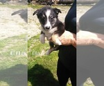 Small Photo #1 Border Collie Puppy For Sale in FREDERICKSBG, OH, USA