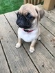 Pug Puppy For Sale in DELAVAN, WI, USA