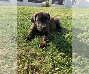 Boerboel Puppy for sale in FULLERTON, CA, USA