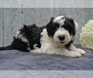 Sheepadoodle Puppy for Sale in FREDERICKSBG, Ohio USA