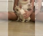 Small #17 French Bulldog
