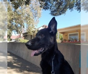 German Shepherd Dog Dog For Adoption in S PASADENA, CA, USA