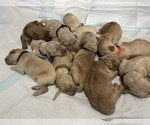 Small Photo #2 Golden Retriever Puppy For Sale in TEMPLE, TX, USA