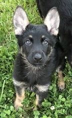 German Shepherd Dog Puppy For Sale in MANCHESTER, TN, USA