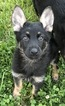 German Shepherd Dog Puppy For Sale in MANCHESTER, Tennessee,