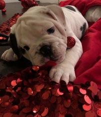 English Bulldog Puppy for sale in SACRAMENTO, CA, USA