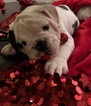 English Bulldog Puppy For Sale in SACRAMENTO, CA, USA