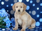 Labradoodle Puppy For Sale in MOUNT JOY, PA, USA