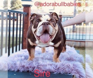 Father of the English Bulldog puppies born on 09/12/2020