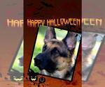 Small #496 German Shepherd Dog