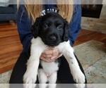 Frisian Water Hound Puppy For Sale in TRAVERSE CITY, MI, USA