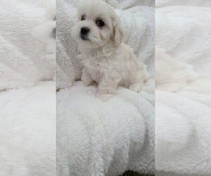 Maltese-Maltipoo Mix Puppy for sale in GRANDVILLE, MI, USA