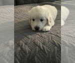Small #20 English Cream Golden Retriever