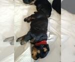 Small #14 Rottweiler