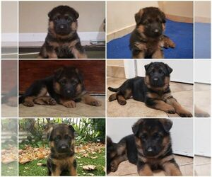 German Shepherd Dog Puppy for sale in SACRAMENTO, CA, USA