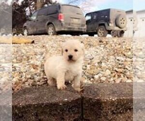 Goldendoodle Puppy for Sale in TAMA, Iowa USA