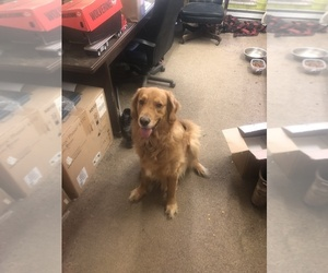 Father of the Golden Retriever puppies born on 06/19/2019
