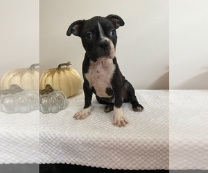 Boston Terrier Puppy for sale in BEECH GROVE, IN, USA