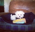 Maltipoo Puppy For Sale in LOS ANGELES, CA