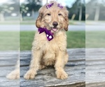Small #13 Goldendoodle
