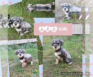 Schnauzer (Miniature) Puppy for Sale in WHEELER, Wisconsin USA