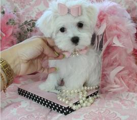 Maltese Puppy For Sale in CAIRO, GA