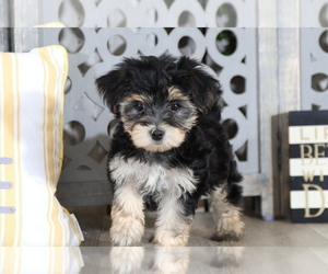 Yo-Chon Puppy for sale in MOUNT VERNON, OH, USA