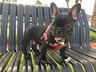 French Bulldog Puppy For Sale in BOCA RATON, Florida,