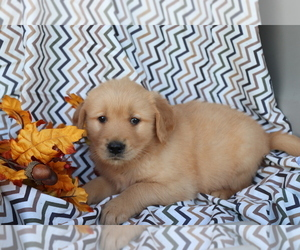 Medium Golden Retriever