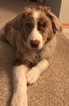 Australian Shepherd Puppy For Sale in ROCHESTER, MN, USA