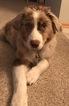 Australian Shepherd Puppy For Sale in ROCHESTER, MN, USA