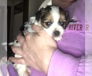 Maltese-Morkie Mix Puppy for sale in CHARLESTON, SC, USA