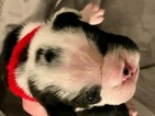 English Bulldog Puppy For Sale in COLLEYVILLE, Texas,