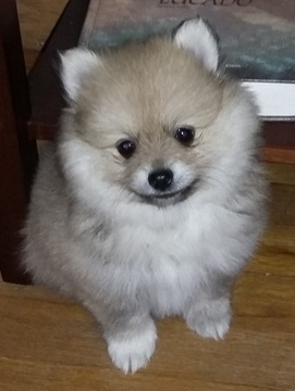 pomeranian for sale in oregon view ad pomeranian puppy for sale oregon independence usa 1824
