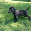 German Shorthaired Lab Puppy For Sale in TUCSON, AZ, USA