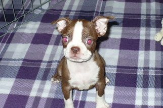 Boston Terrier Puppy for sale in TUCSON, AZ, USA