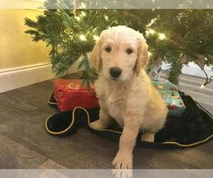 Goldendoodle Puppy for Sale in WEATHERFORD, Texas USA