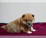 Puppy 5 Aussiedoodle-Goldendoodle Mix