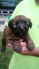 Soft Coated Wheaten Terrier Puppy For Sale in HELTONVILLE, IN, USA