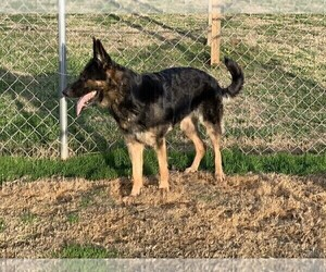 Mother of the German Shepherd Dog puppies born on 04/22/2021