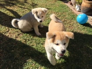View Ad Akita Puppy For Sale California Rowland Heights Usa