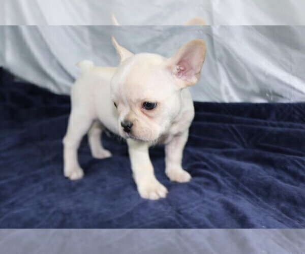 Medium Photo #3 French Bulldog Puppy For Sale in HOUSTON, TX, USA