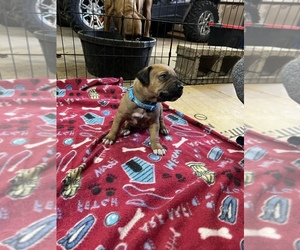 Rhodesian Ridgeback Puppy for sale in DIVIDE, CO, USA